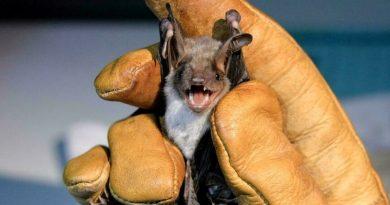 लाओस की गुफाओं में पाए गए कोरोना संक्रमण फैलाने वाले चमगादड़